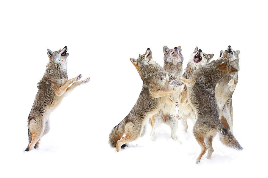 Coyote Choir Photograph by Jim Cumming