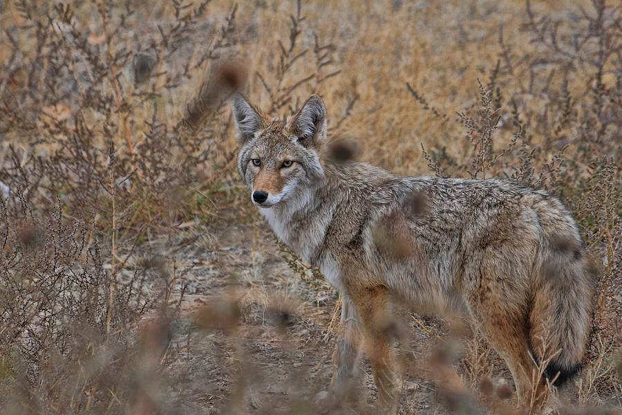 Coyote by David Armstrong