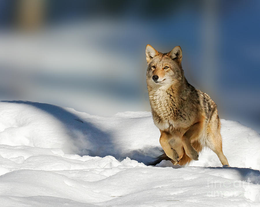Coyote Photograph - Coyote Go Go Go by Lloyd Alexander