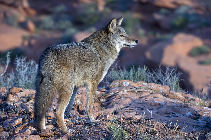 Coyote In The Southwest Us Photograph by Kathleen Reeder Wildlife Photography