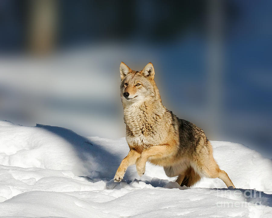 Coyote Running Photograph by Lloyd Alexander  Coyote Running ...