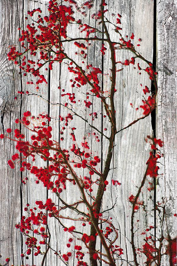 Crab Apple Branches On White Washed Barn Wood Photograph By