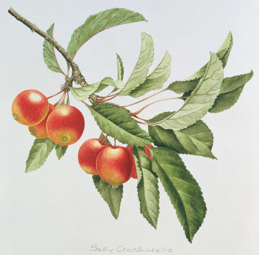 Berry Painting - Crab Apples by Sally Crosthwaite