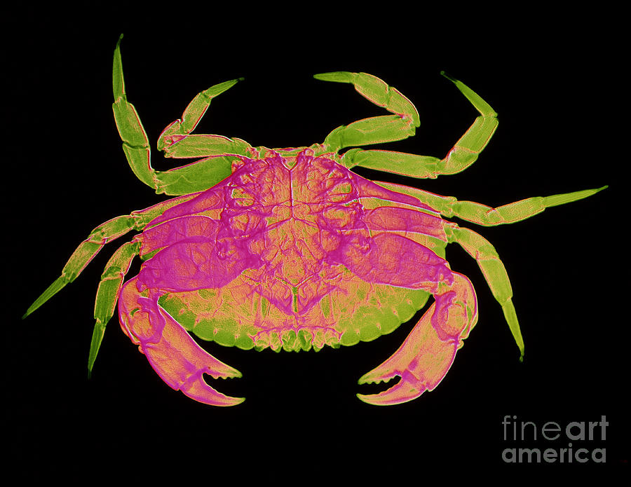 Edible Crab Photograph - Crab by D Roberts