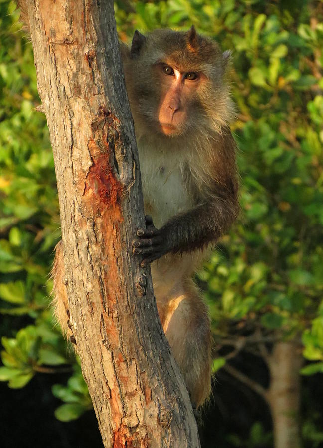 Monkey Photograph - Crab Eating Macaque by Ramona Johnston