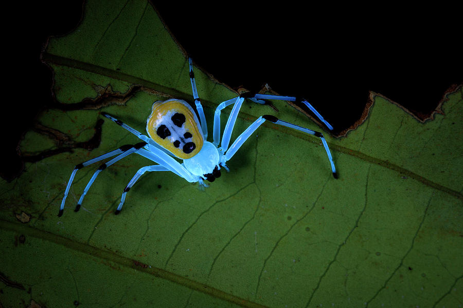 Nobody Photograph - Crab Spider Under Uv Light by Melvyn Yeo