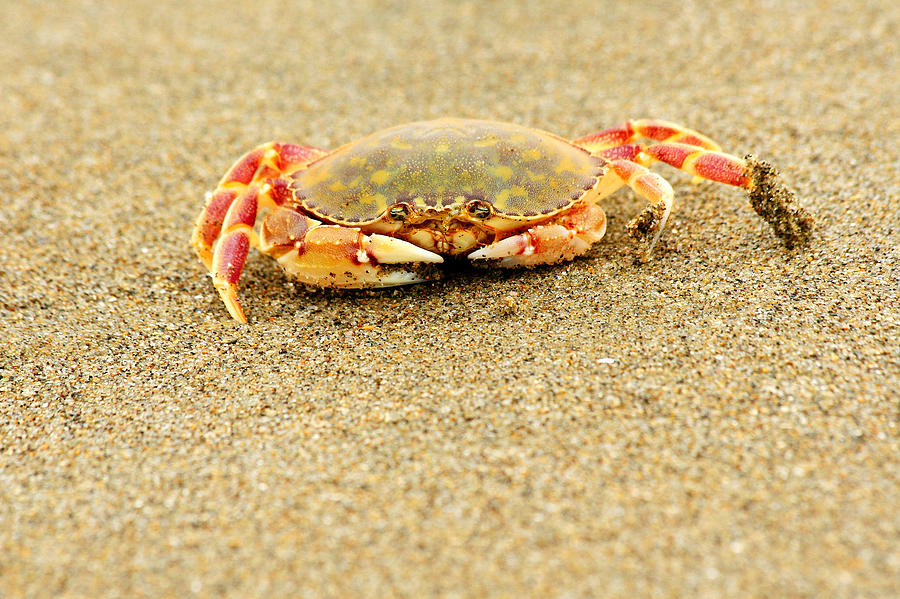 Crab Photograph - Crab Walk by Rebecca Adams
