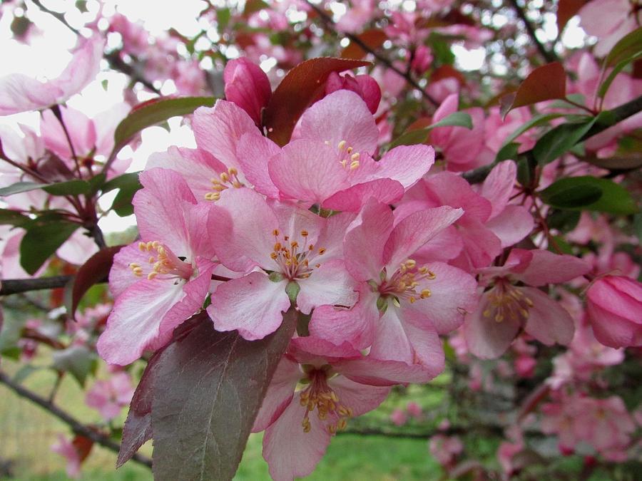 Flowers Photograph - Crabapple Blossom by Carol Hoffman