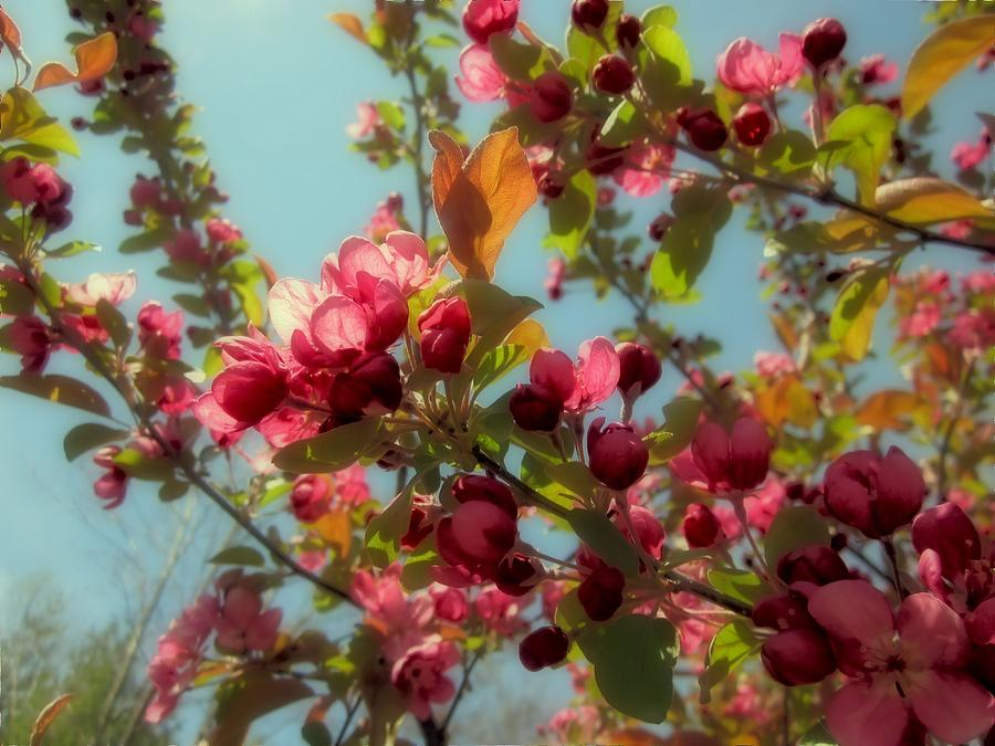Crabapple Blossom Red