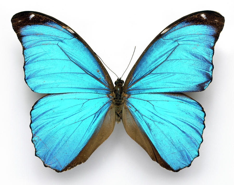 Morpho Menelaus Photograph - Cramers Blue Butterfly by Natural History Museum, London/science Photo Library