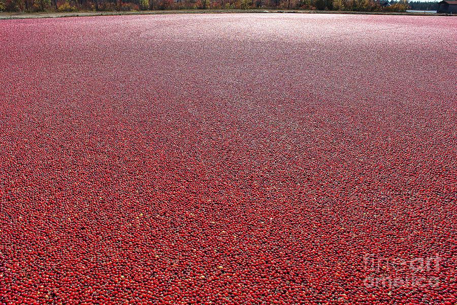 Cranberries Photograph - Cranberries by Olivier Le Queinec