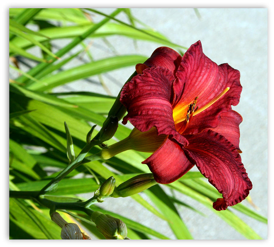 Cranberry Photograph - Cranberry Colored Lily by Kay Novy