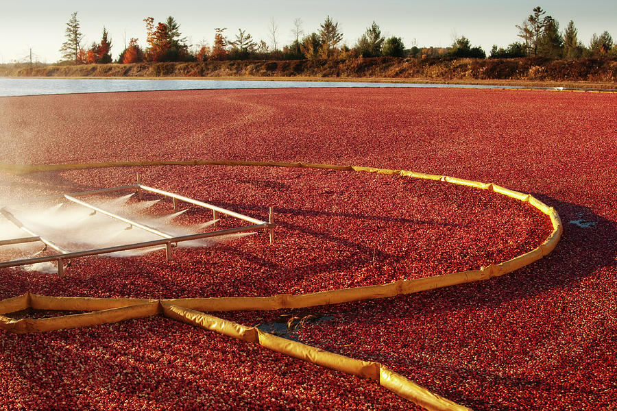 Cranberry Farm Harvesting For Photograph by Yinyang
