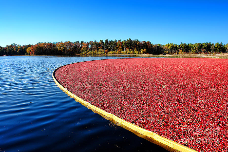 New Jersey Photograph - Cranberry Harvest In New Jersey by Olivier Le Queinec