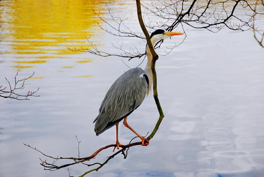 Crane Photograph - Crane Perching 2 by John Magnet Bell