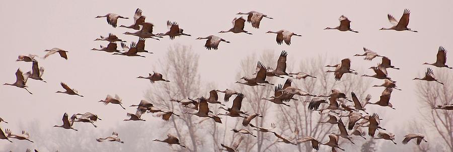 Cranes Photograph - Cranes Across The Sky by Don Schwartz