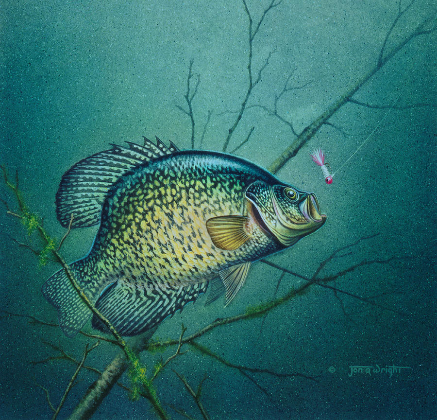 Crappie and pink jig painting by jq licensing for Pictures of crappie fish