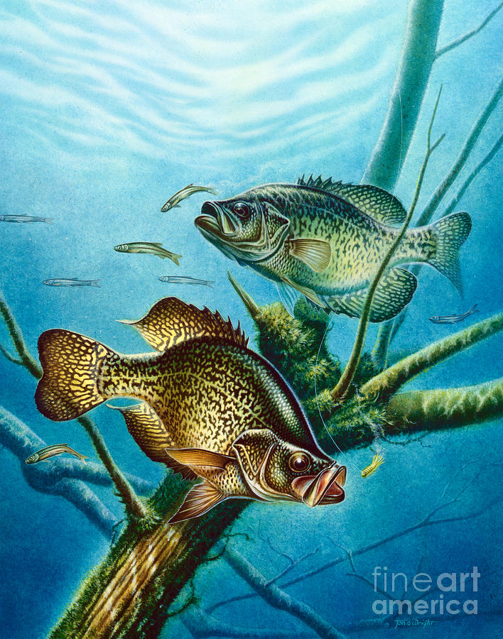 Jon Q Wright Painting - Crappie And Root by JQ Licensing