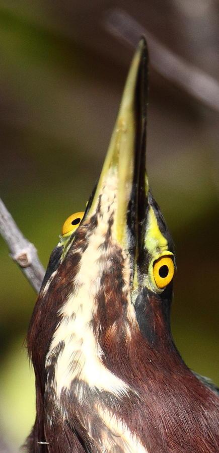 Heron Photograph - Crazy Eyes by Bruce J Robinson