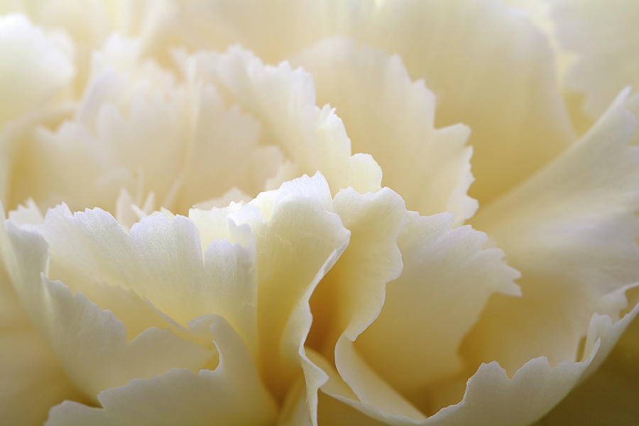 Cream Coloured Carnation, Close-up Photograph by Roel Meijer
