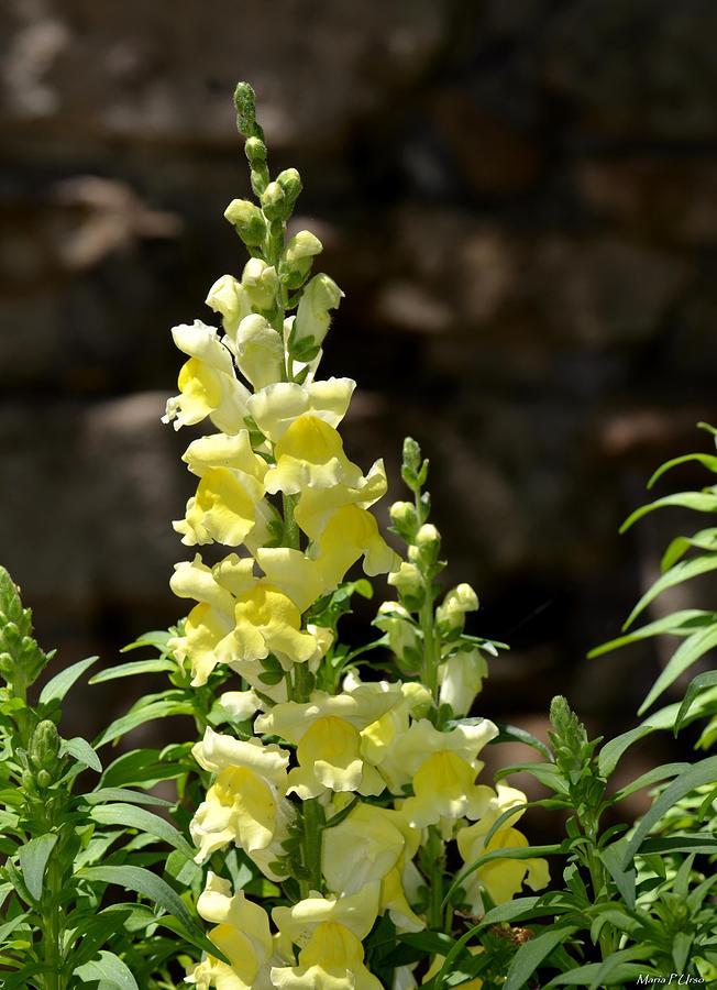 Creamy Yellow Snapdragon Photograph - Creamy Yellow Snapdragon by Maria Urso