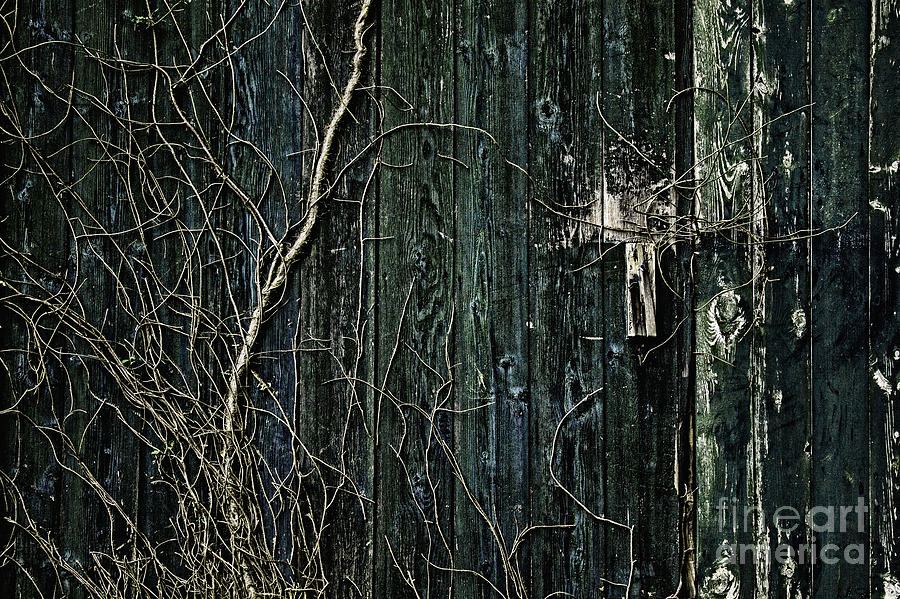 Vine Photograph - Creeper by Andrew Paranavitana