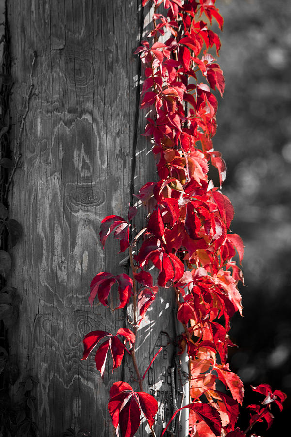Virginia Creeper Photograph - Creeper On Pole Desaturated by Teresa Mucha