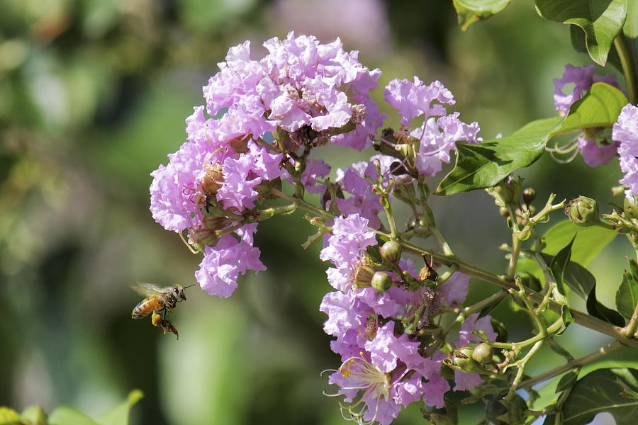 Myrtle Photograph - Crepe Myrtle And Honey Bee by Jason Politte
