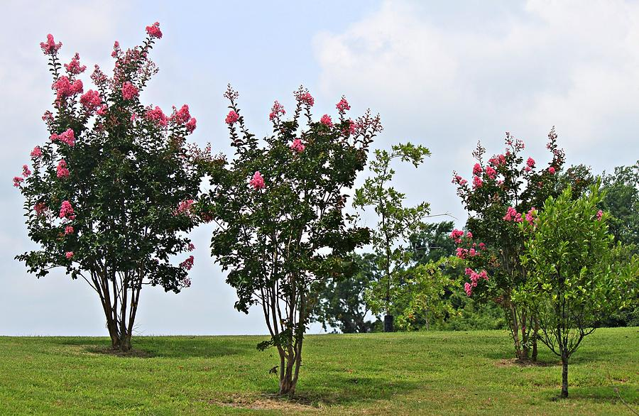 Tree Photograph - Crepe Myrtle Trees by Carolyn Ricks
