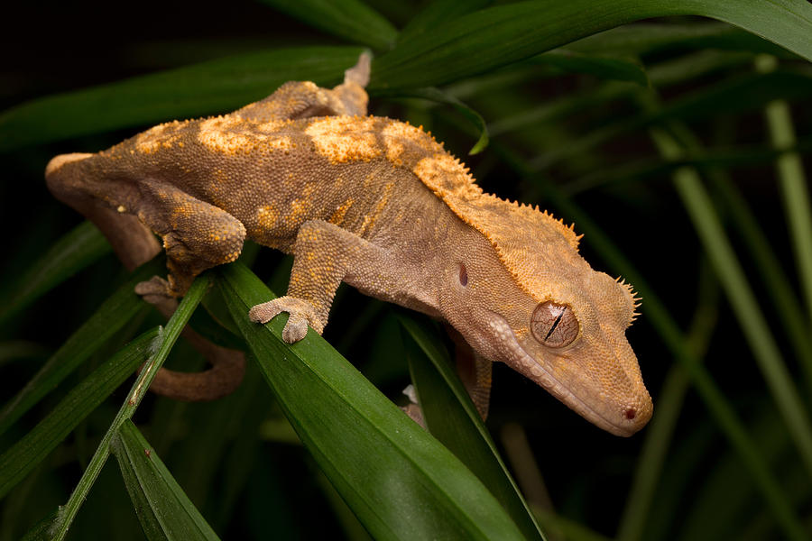 New Caledonian Crested Gecko Photograph - Crested Gecko Rhacodactylus Ciliatus by David Kenny