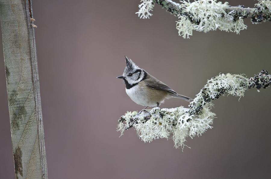 Animal Photograph - Crested Tit by Science Photo Library