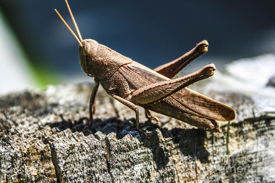 Cricket Photograph - Cricket  by Steven  Taylor