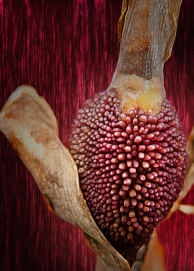 Plant Photograph - Crimson Canna Lily Bud by Bill Tiepelman