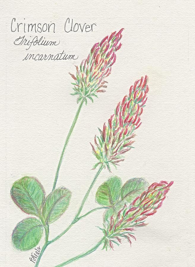 clover drawing crimson clover by bev veals