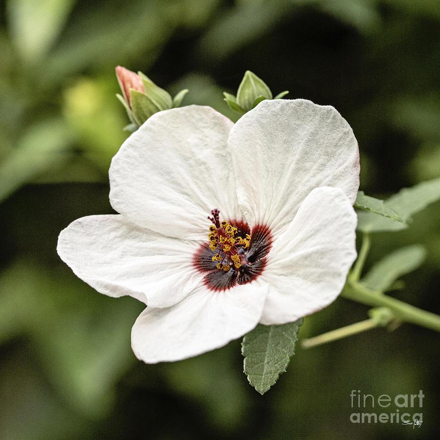 Flower Photograph - Crimson-eyed Mallow by Scott Pellegrin