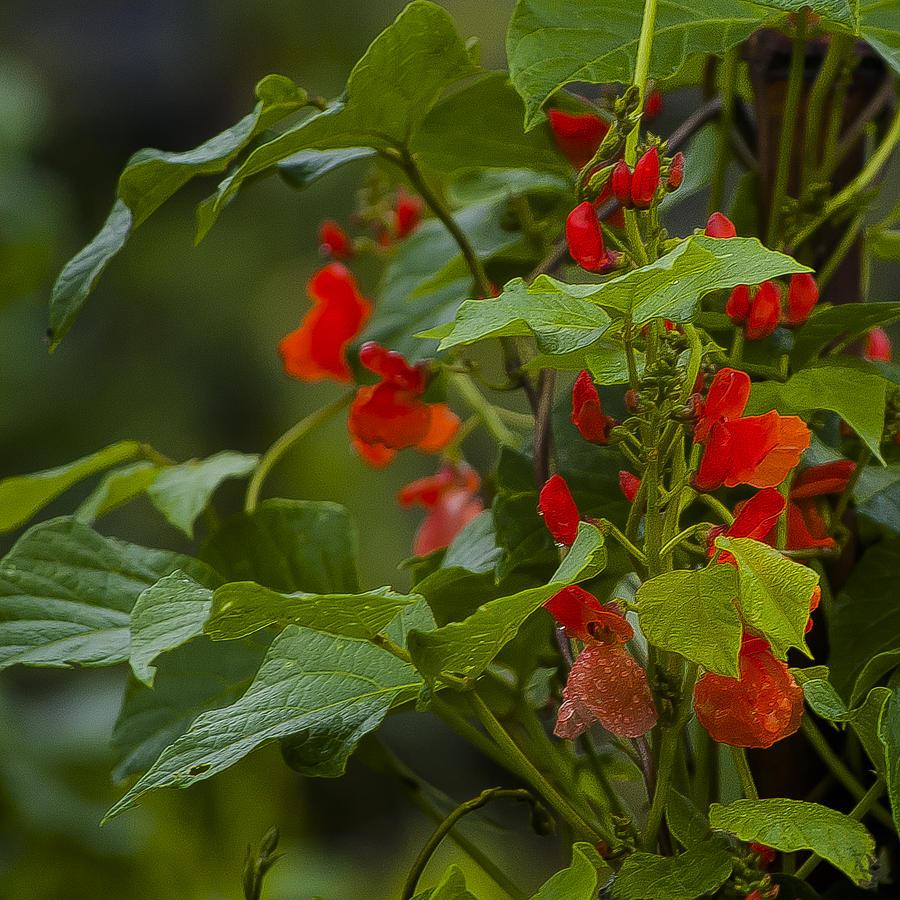 Rwanda Photograph - Crimson Flowers by Paul Weaver