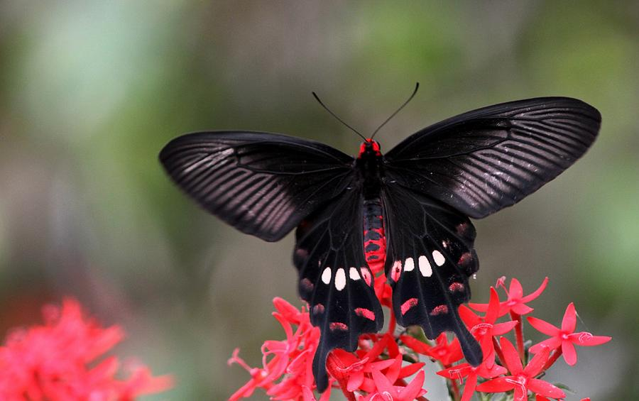 crimson rose butterfly photograph by ramabhadran thirupattur