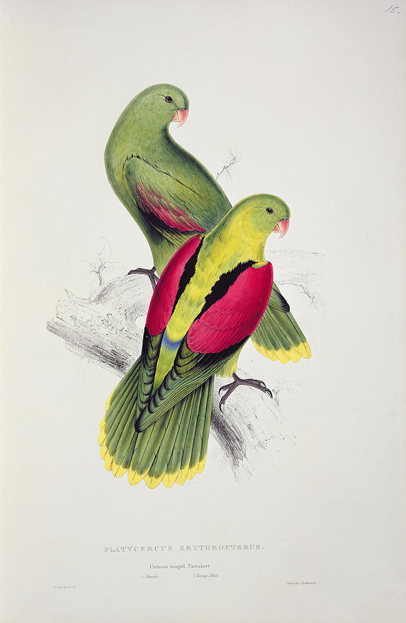 Parakeets Painting - Crimson Winged Parakeet by Edward Lear
