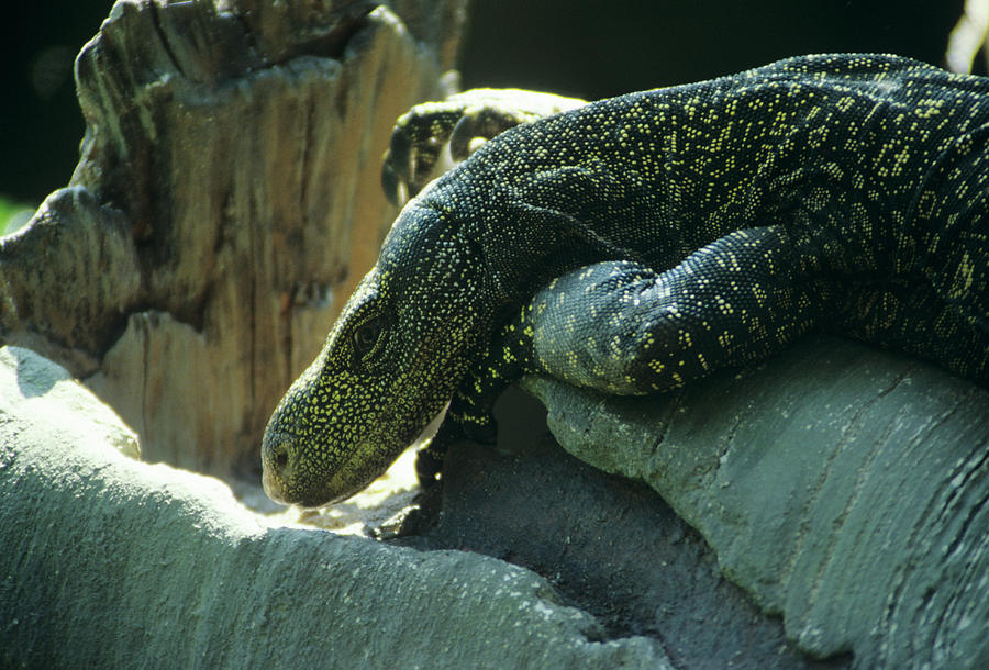 Monitor Lizard Photograph - Crocodile Monitor Lizard by Sally Mccrae Kuyper/science Photo Library