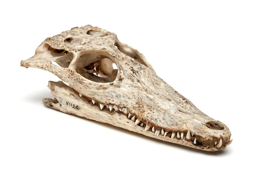 Crocodile Skull Photograph By Ucl Grant Museum Of Zoology