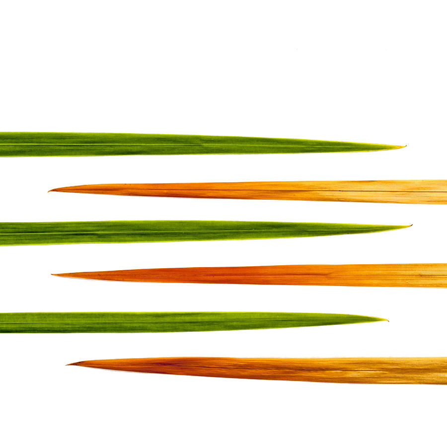 Green Photograph - Crocosmia Leaves On White Background by Carol Leigh