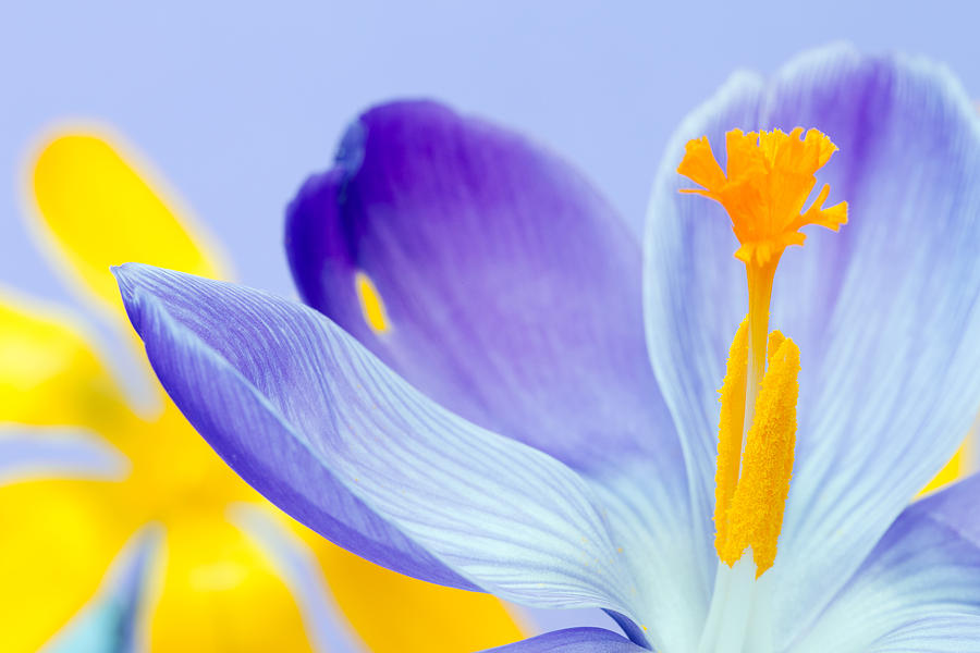 Beauty In Nature Photograph - Crocus by Gillian Dernie