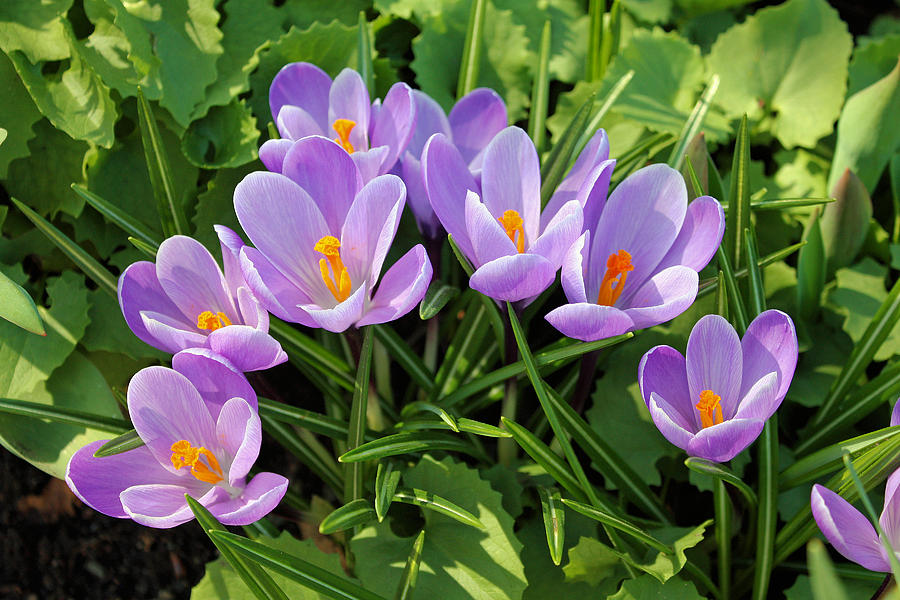 Crocuses by Gerry Bates