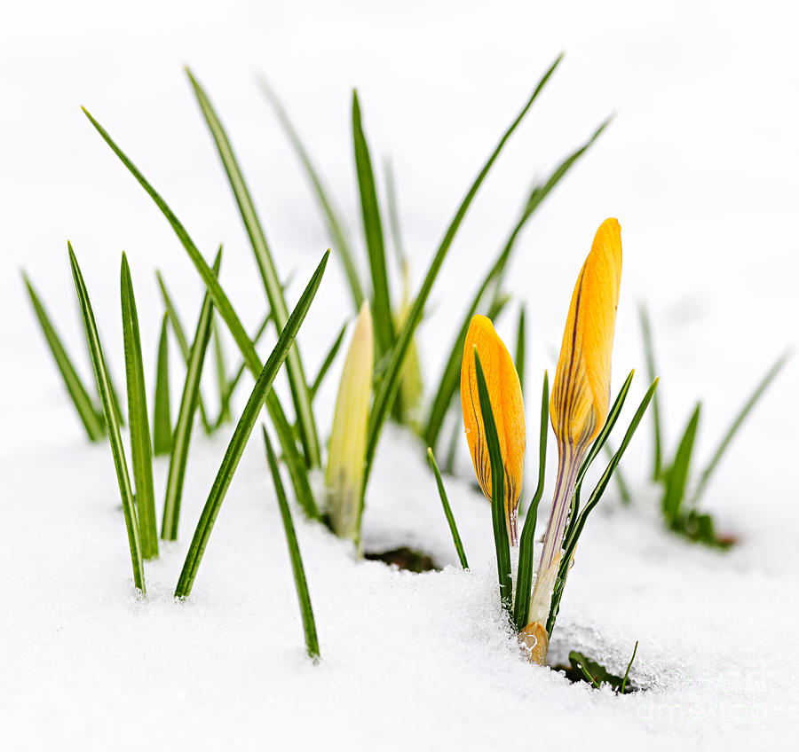 Crocus Photograph - Crocuses In Snow by Elena Elisseeva