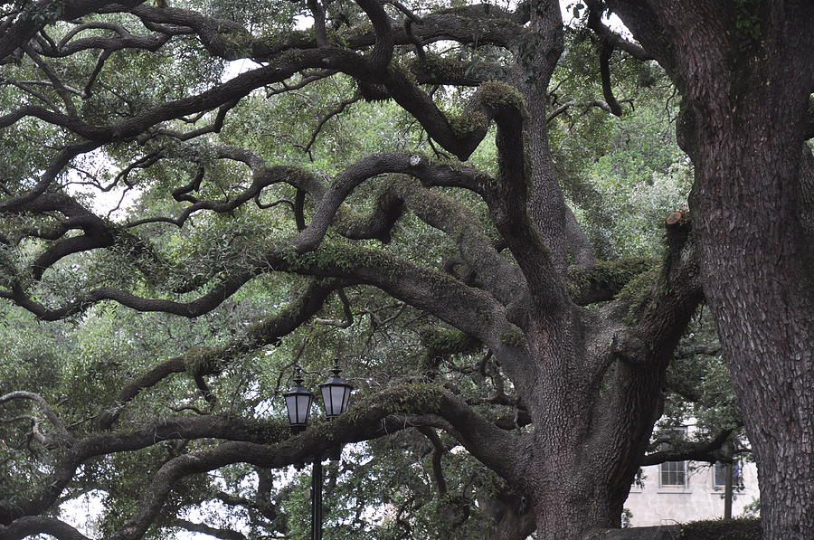 Live Oaks Photograph - Crooked Branches by Kay Mathews