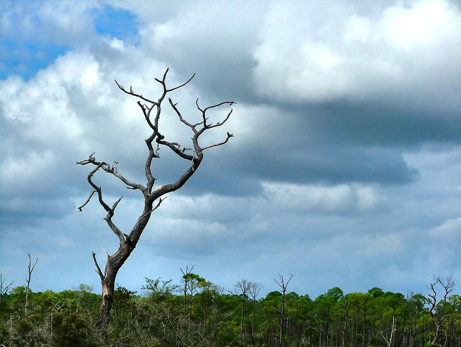 Tree Photograph - Crooked Tree On Crooked Island by Julie Dant