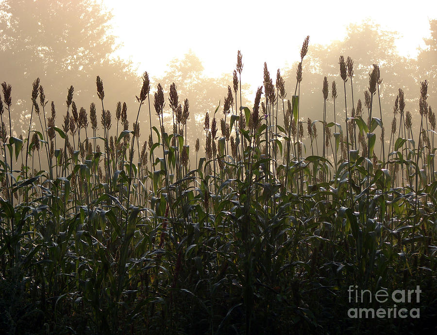 Corn Photograph - Crops In Fog by Olivier Le Queinec