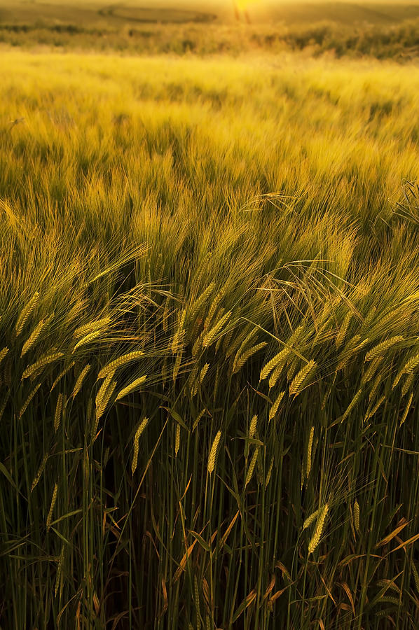 Country Photograph - Crops by Svetlana Sewell