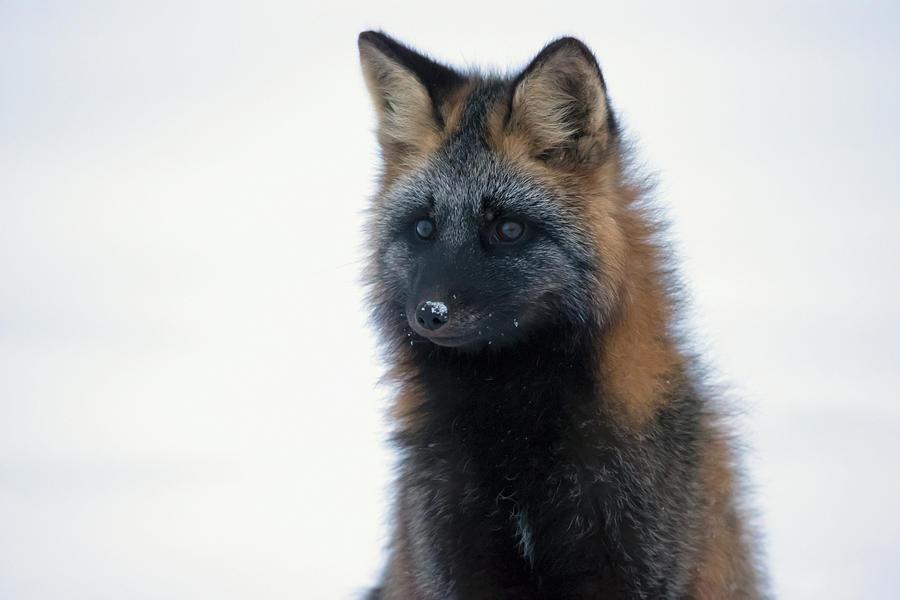 Cross Fox Vulpes Vulpes Photograph by Robert Postma / Design Pics