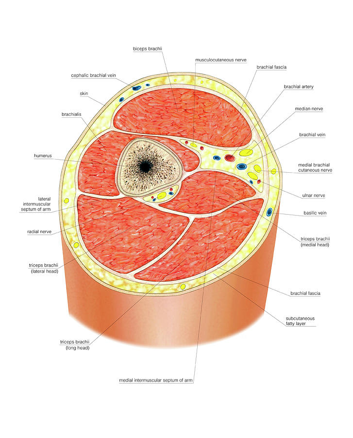 [Image: cross-section-of-the-arm-asklepios-medical-atlas.jpg]